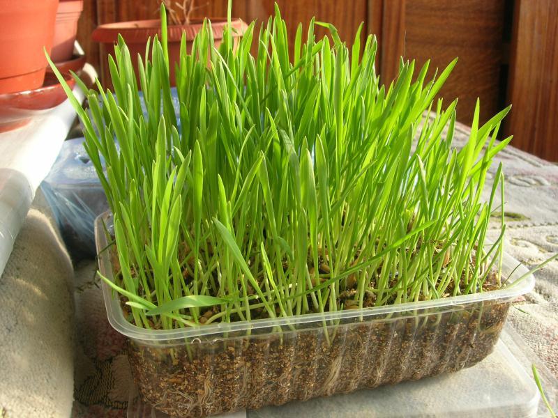 Какую траву сажают для кошек 40