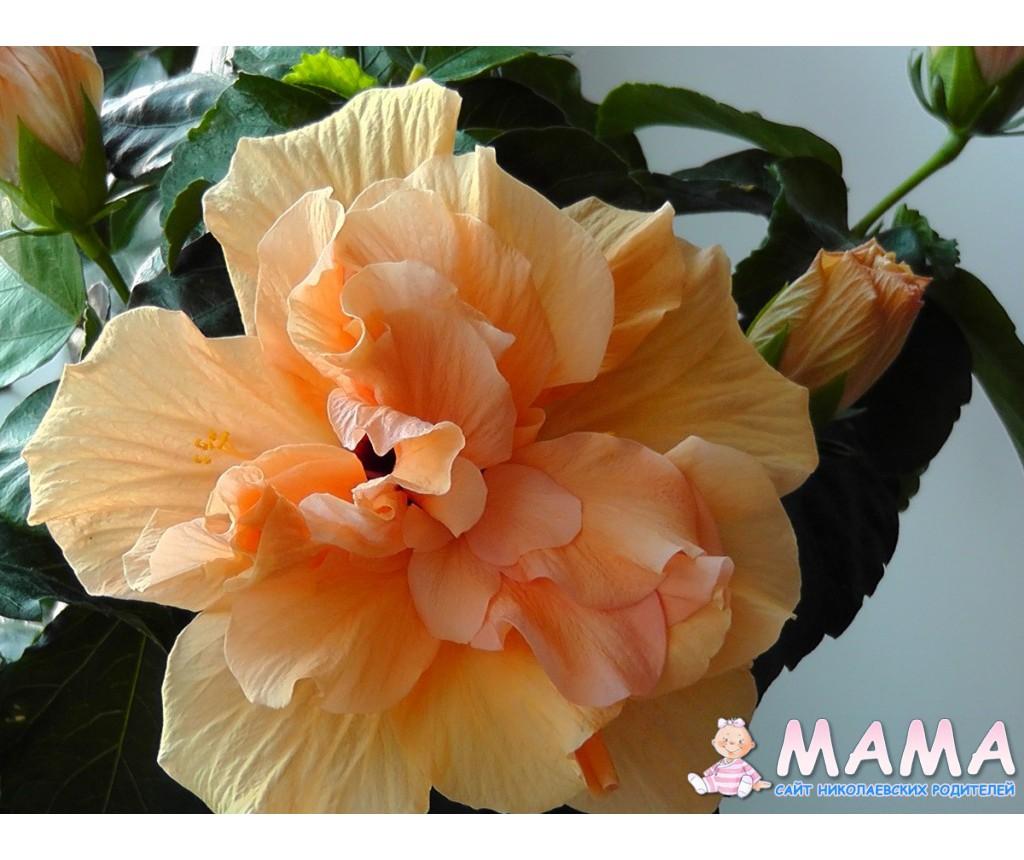 Гибискус китайская роза уход в 83